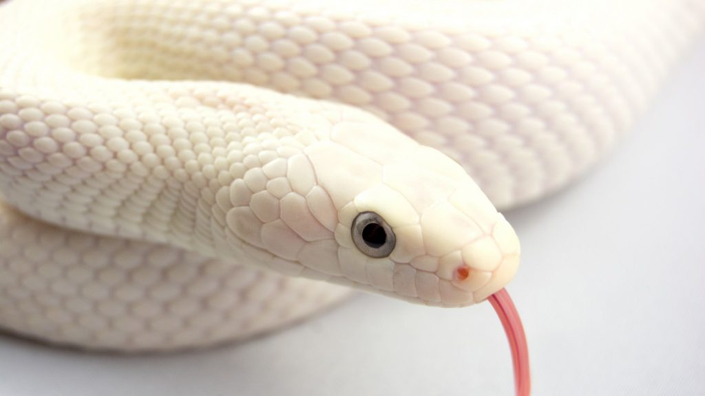 Белая змея Братья Гримм