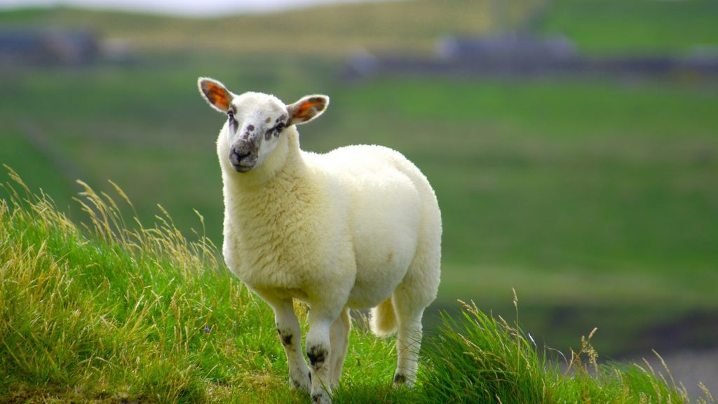Cказка как барин овцу купил